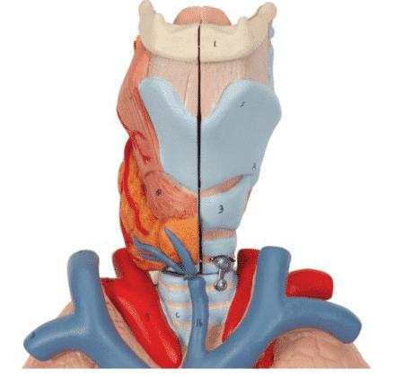Model płuc i układu oddechowego