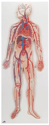Model układu krwionośnego