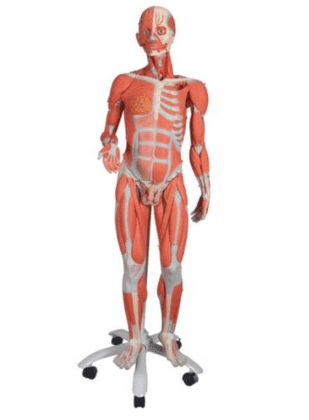 Model układu mięśniowego