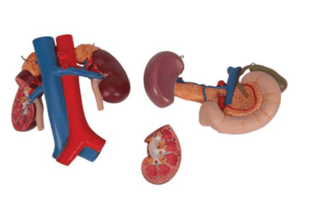 Model układu moczowego