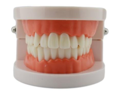 Model stomatologiczny