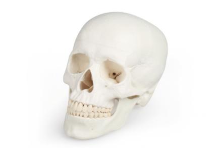 Model czaszki, (3-częściowy)