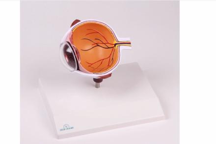 Powiększony model oka w formie przekroju