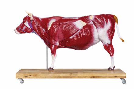 Anatomiczny model krowy