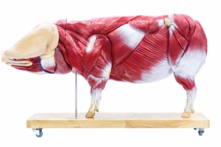 Anatomiczny model świni