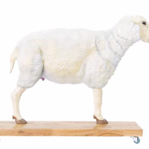 Anatomiczny model owcy