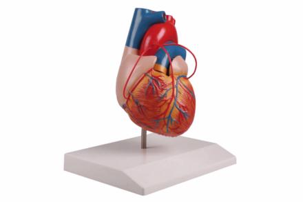 Model serca z bypassami