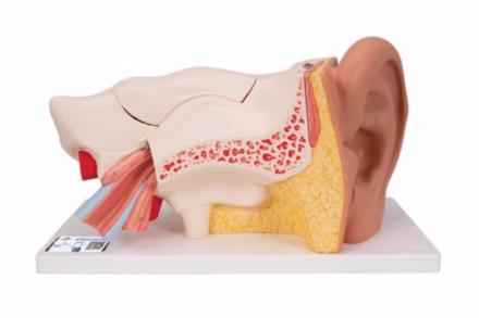 Model ucha człowieka z widocznymi strukturami wewnętrznymi w 3-krotnym powiększeniu, (6 części)