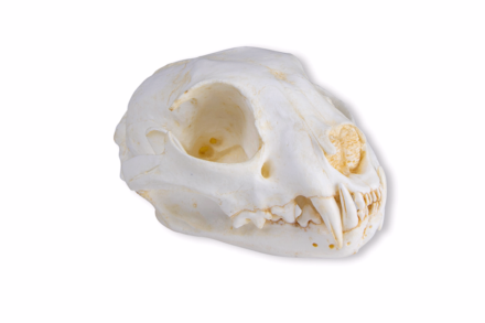 czaszka kota (replika)