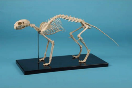 Model szkieletu kota