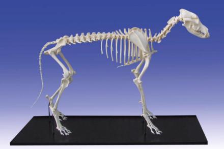 Model szkieletu psa średniej rasy