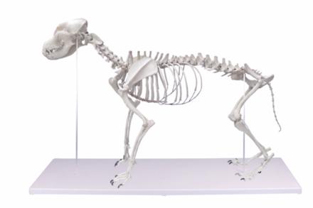 """Model szkieletu psa """"Olaf"""""""