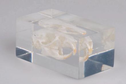 czaszka świnki morskiej osadzona w plastikowym bloku