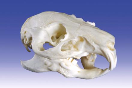czaszka świnki morskiej