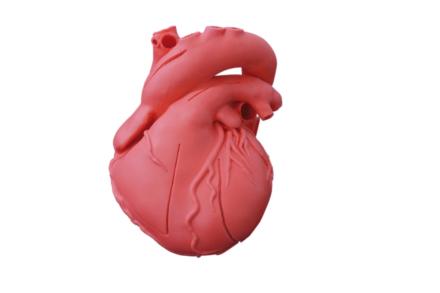 Elastyczny model serca, wersja dydaktyczna