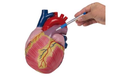 Model serca w 3-krotnym powiększeniu, (2 częściowy)