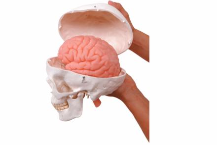 Model czaszki z modelem mózgu BIOLIKE2