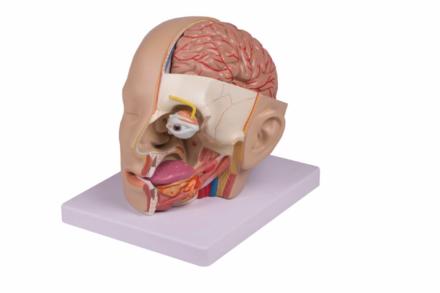 Model głowy, 4 częściowy