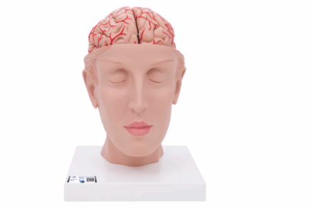 Model głowy z wyodrębnionym mózgiem, (8 części)