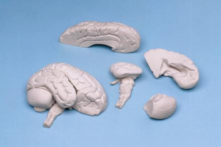 Miękki model mózgu człowieka, (8 części)
