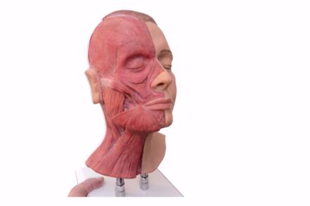 Model z widocznymi mięśniami, do nauki iniekcji w okolicy twarzy