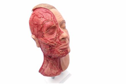 Model z widocznymi mięśniami, tętnicami i nerwami, do nauki iniekcji w okolicy twarzy