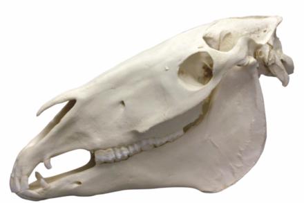 Model weterynaryjny – czaszka konia