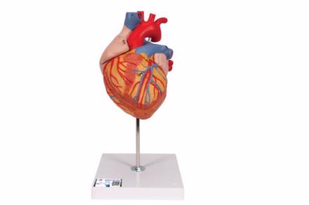 Model serca człowieka, 2-krotnie powiększony, (4 części)