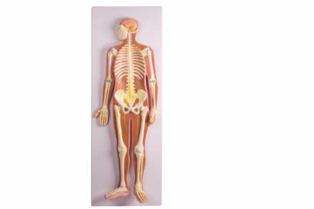 Model układu nerwowego człowieka, ½ rzeczywistych rozmiarów