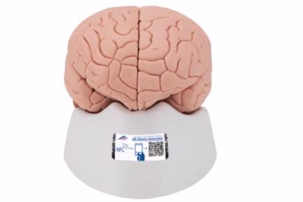 Model ludzkiego mózgu, składający się z 2 części