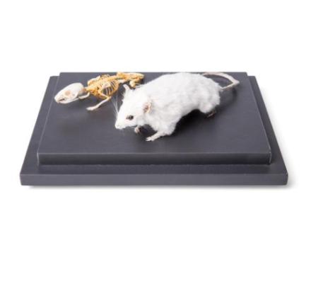 Zestaw modeli weterynaryjnych: model wypchanej myszy oraz szkielet myszy (Mus musculus)