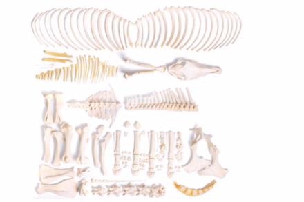 Model szkieletu konia (Equus ferus caballus), ogier, niezmontowany