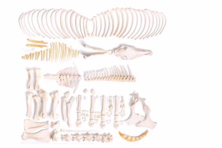 Model szkieletu konia (Equus ferus caballus), klacz, niezmontowany