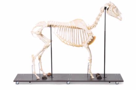 Model szkieletu konia (Equus ferus caballus), ogier