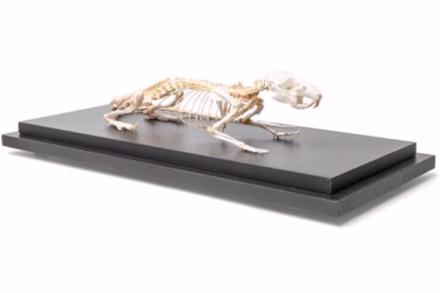 Model szkieletu szczura (Rattus rattus)