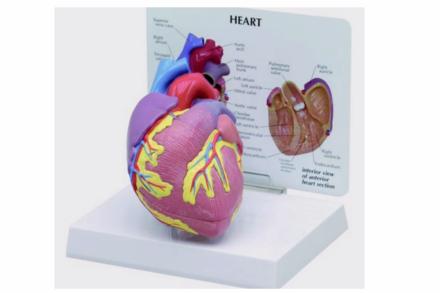 Model serca człowieka